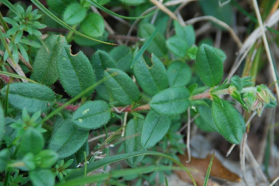 Helianthemum nummularium subsp. obscurum 6