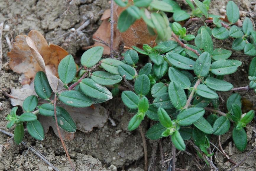 Helianthemum nummularium subsp. obscurum 9