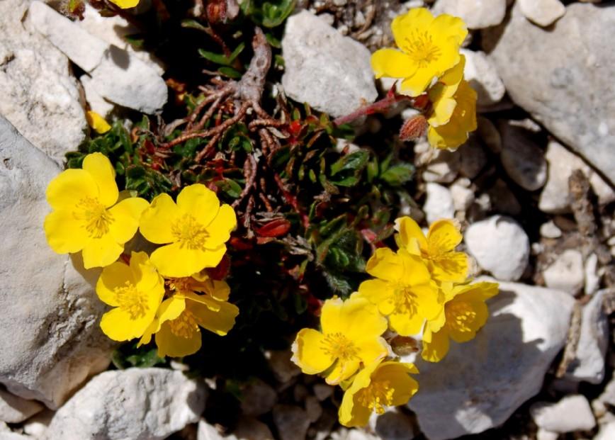 Helianthemum oleandicum subsp. alpestre