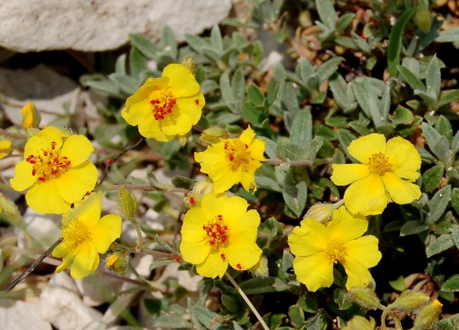 Helianthemum oleandicum subsp. incanum