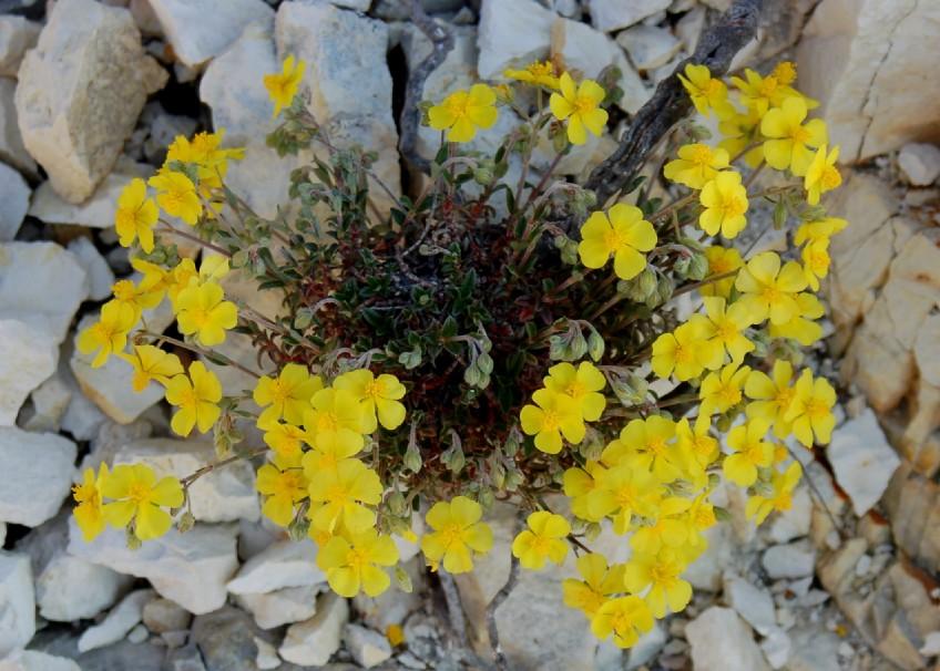 Helianthemum oleandicum subsp. italicum