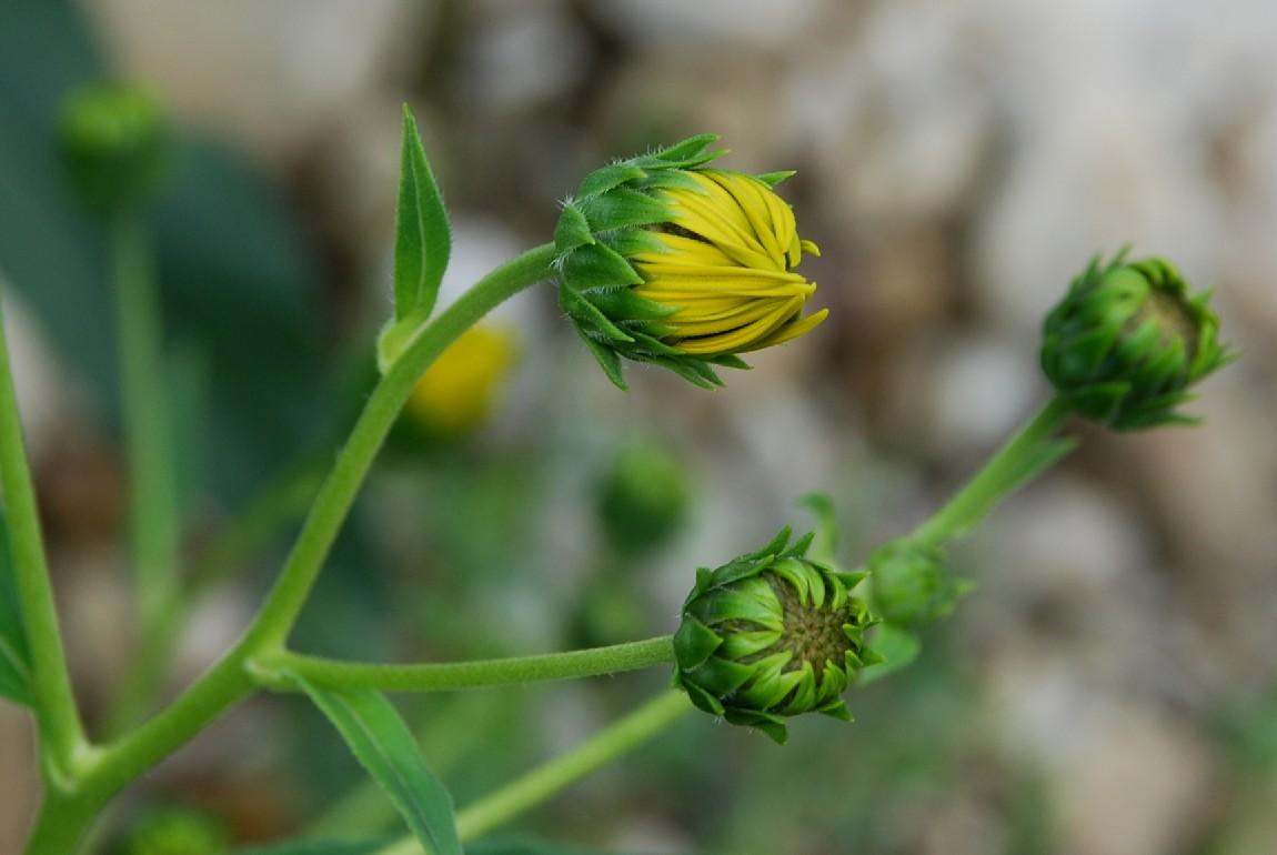 Helianthus tuberosus 11