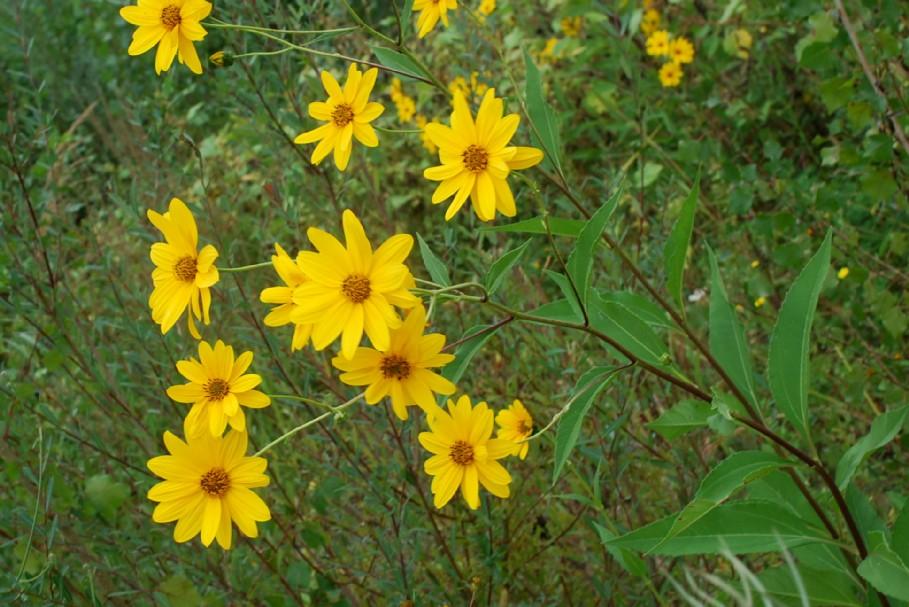 Helianthus tuberosus 19