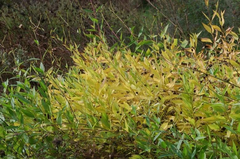 Helianthus tuberosus 25