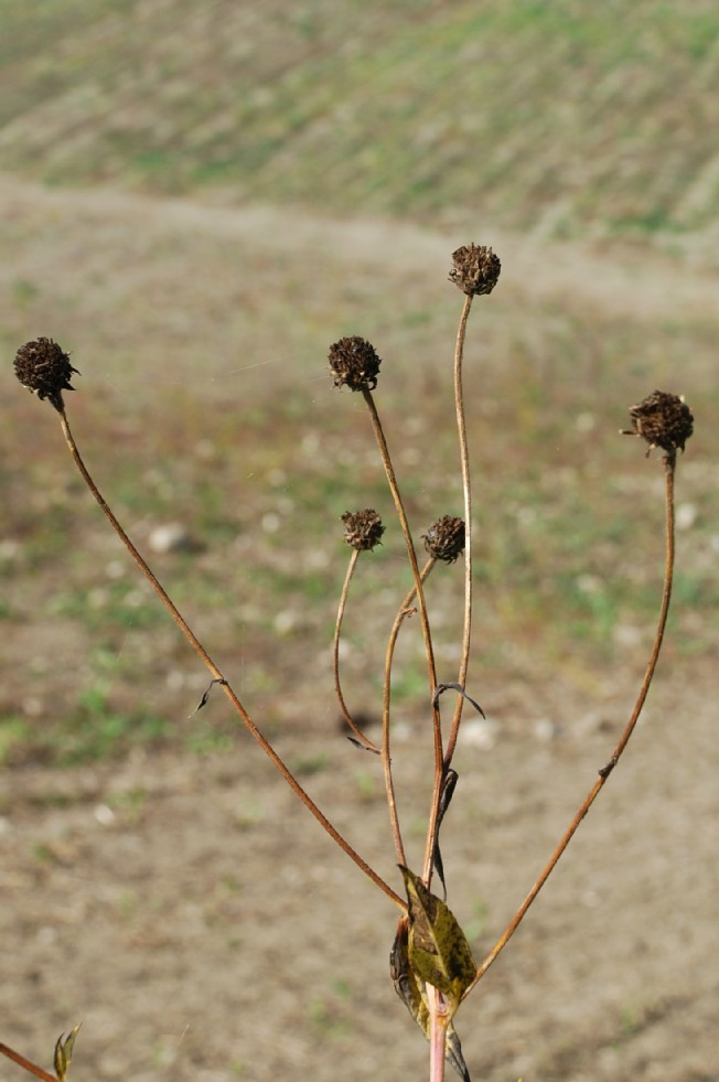 Helianthus tuberosus 5