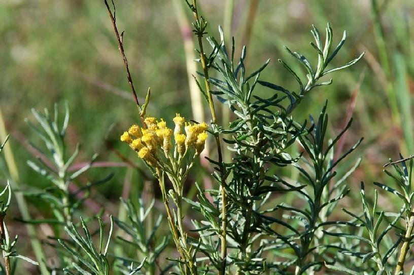Helichrysum italicum subsp. italicum