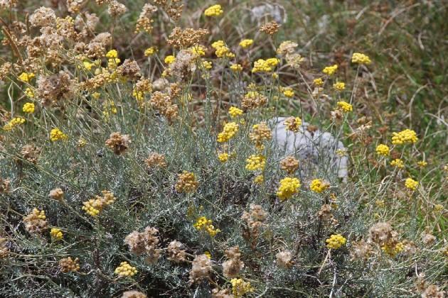 Helichrysum italicum subsp. italicum 10