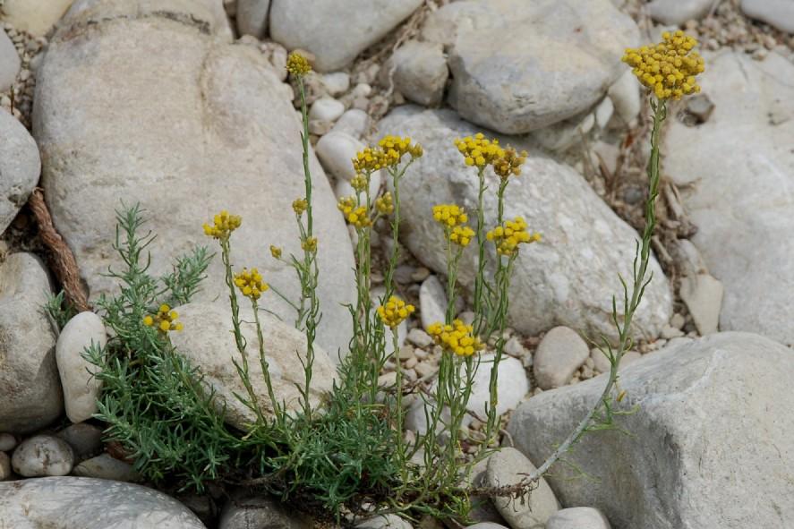 Helichrysum italicum subsp. italicum 11