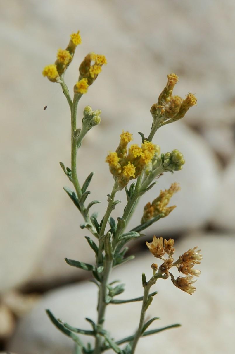 Helichrysum italicum subsp. italicum 15