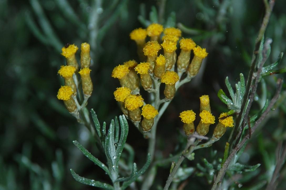 Helichrysum italicum subsp. italicum 17