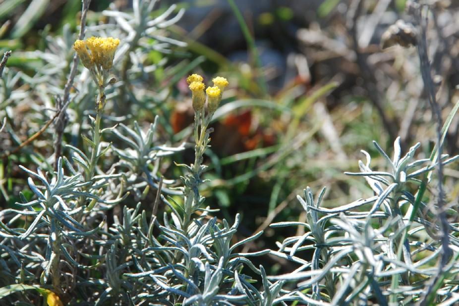 Helichrysum italicum subsp. italicum 18