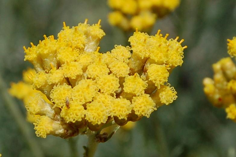 Helichrysum italicum subsp. italicum 2