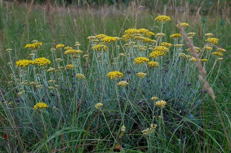 Helichrysum italicum subsp. italicum 20