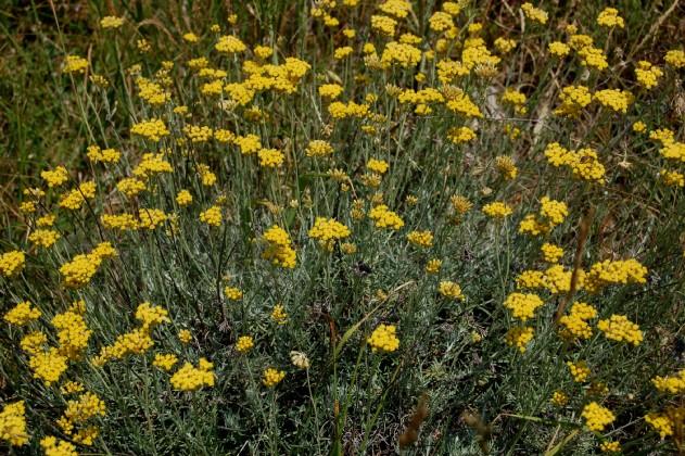 Helichrysum italicum subsp. italicum 4