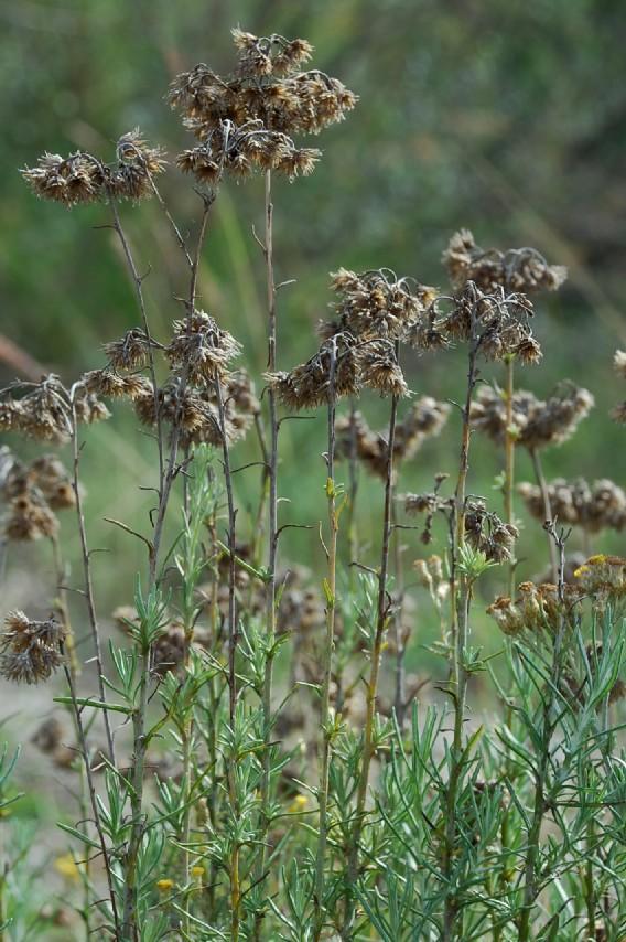 Helichrysum italicum subsp. italicum 6