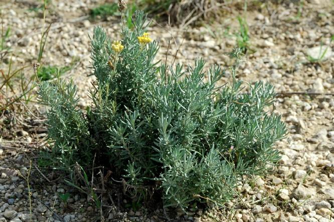 Helichrysum italicum subsp. italicum 7