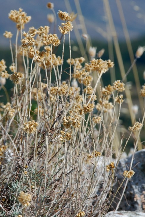 Helichrysum italicum subsp. italicum 8