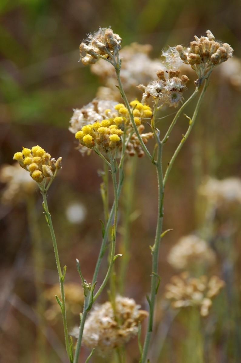 Helichrysum italicum subsp. italicum 9