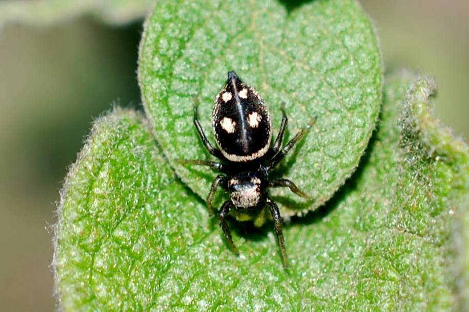 Heliophanus apiatus - Salticidae