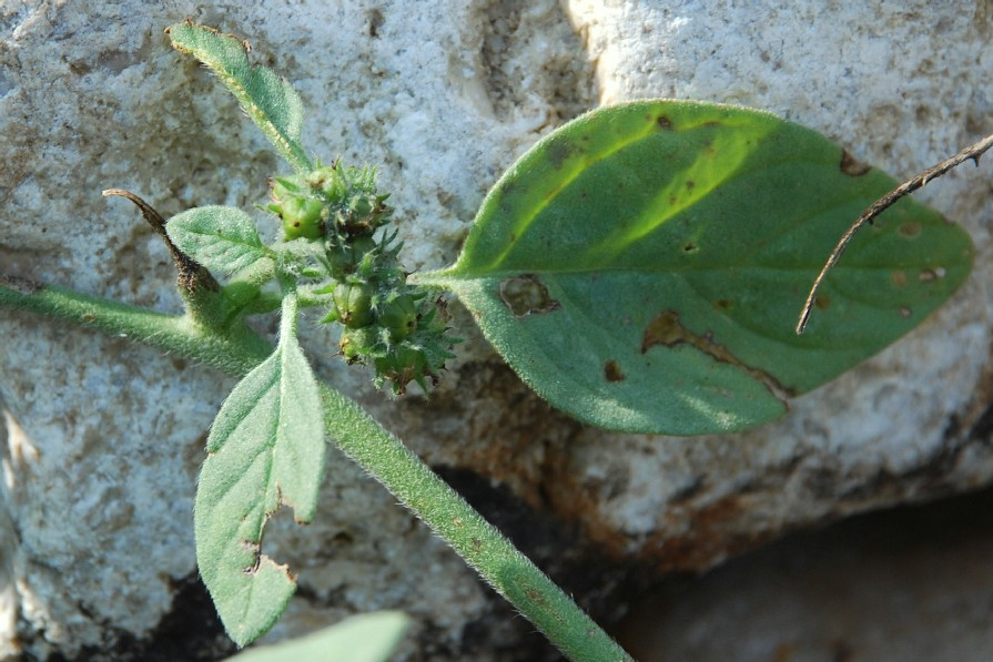 Heliotropium europaeum 8