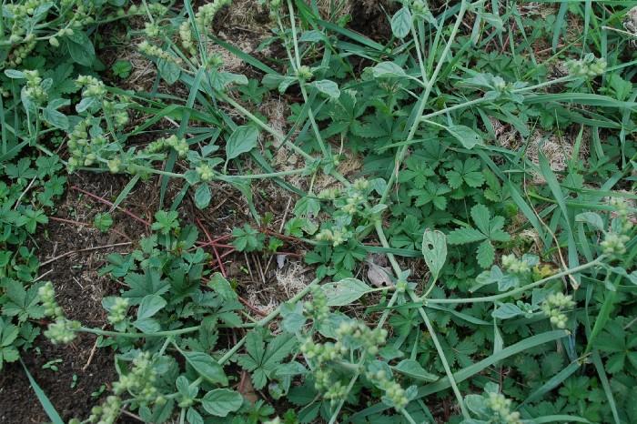Heliotropium supinum 20