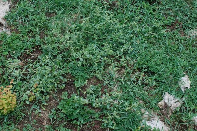 Heliotropium supinum 21