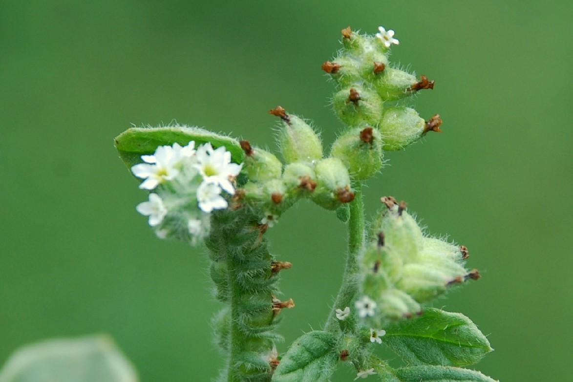 Heliotropium supinum 23