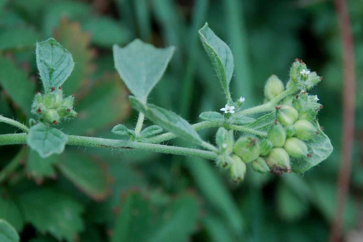 Heliotropium supinum 4