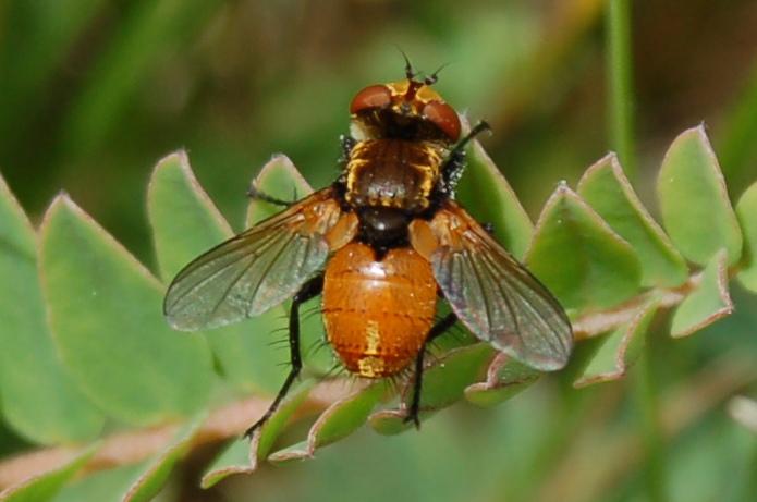 Heliozeta sp. - Tachinidae