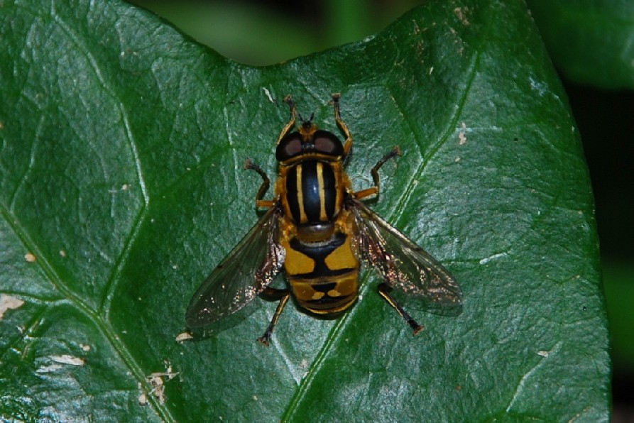 Helophilus sp. -  Syrphidae