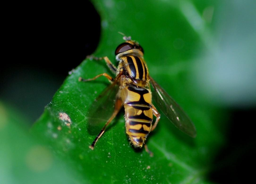 Helophilus sp. 1 -  Syrphidae