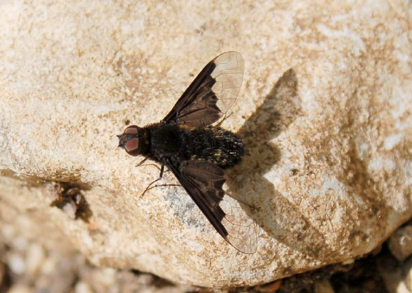Hemipenthes morio - Bombyliidae
