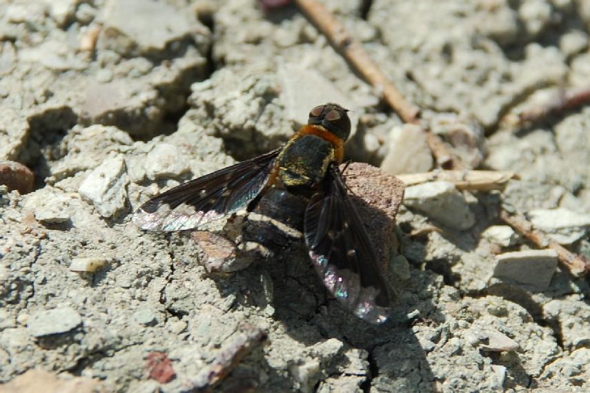 Hemipenthes velutina - Bombyliidae