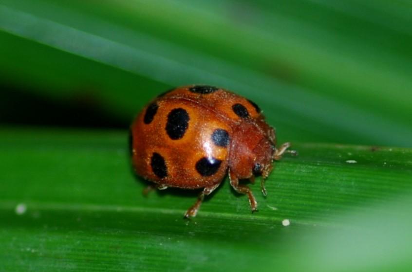 Henosepilachna elaterii - Coccinellidae
