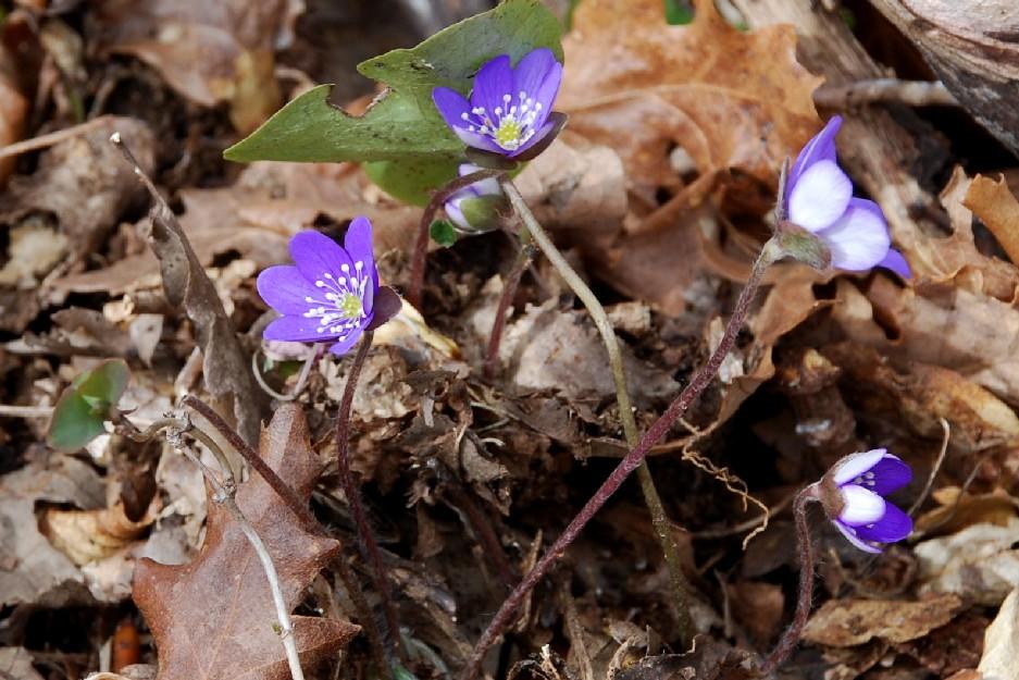 Hepatica nobilis 11