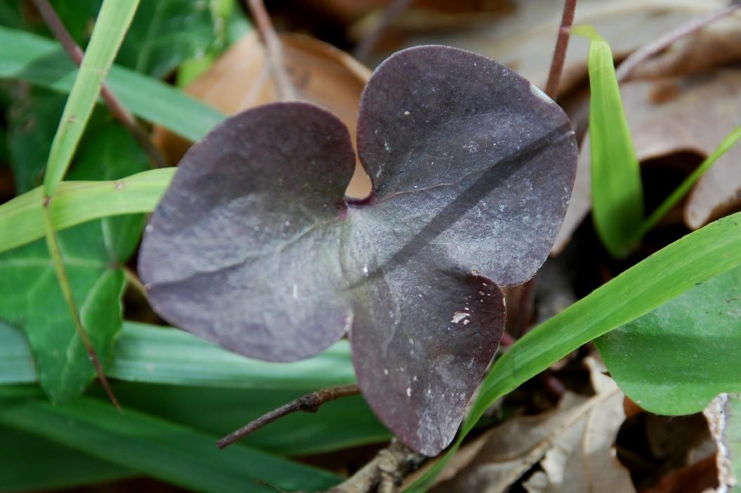 Hepatica nobilis 12