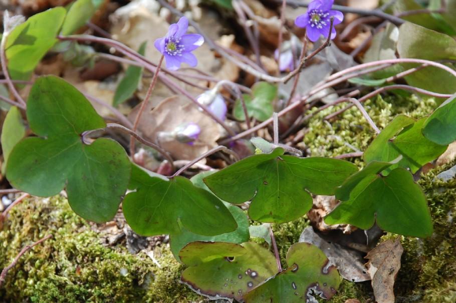 Hepatica nobilis 13