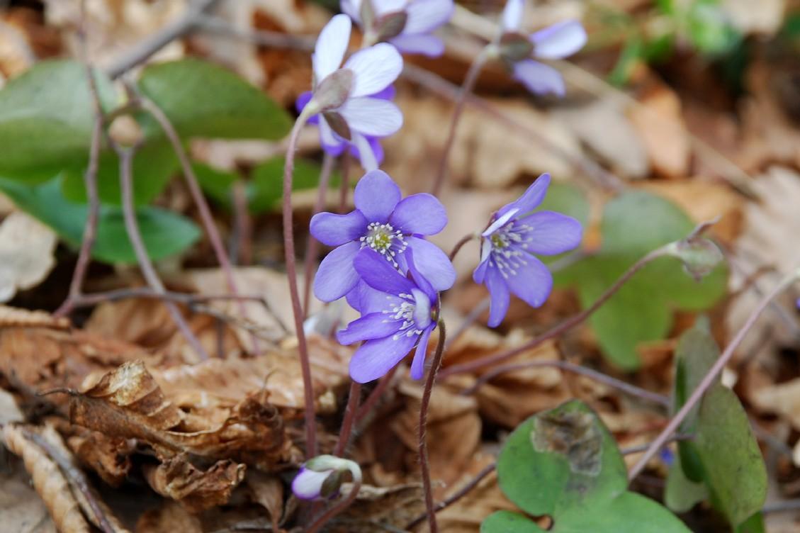 Hepatica nobilis 15