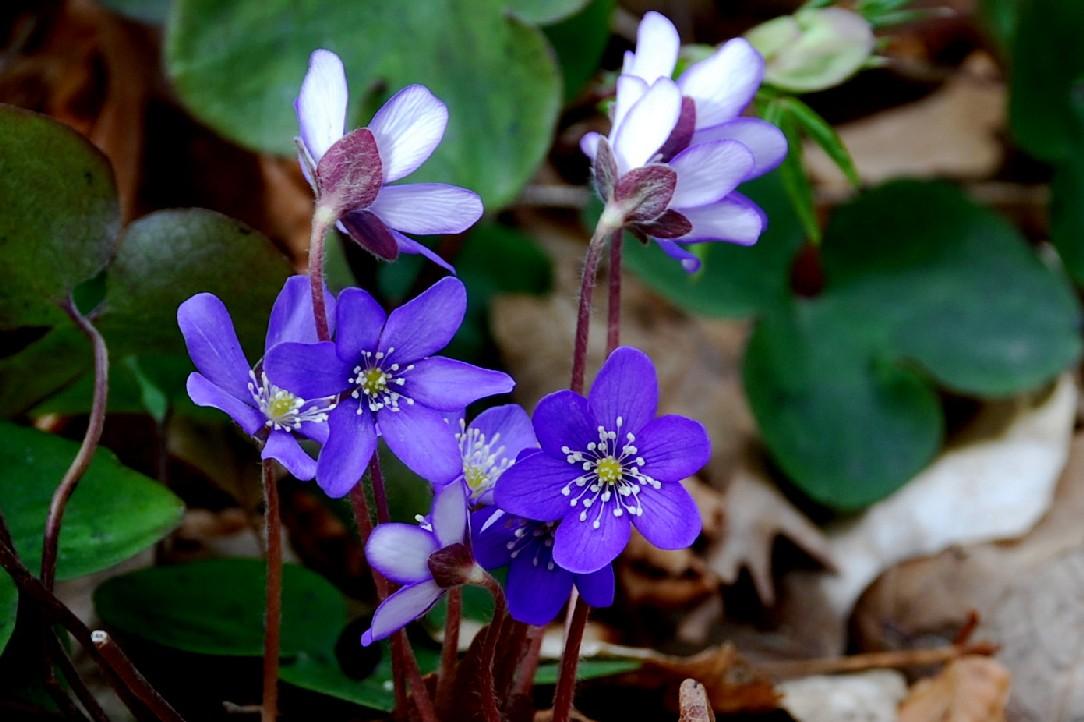 Hepatica nobilis 17