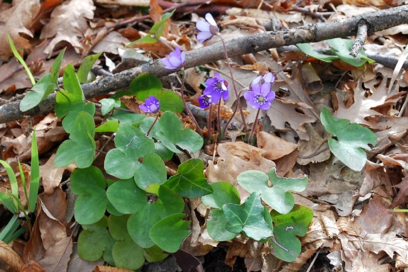 Hepatica nobilis 19