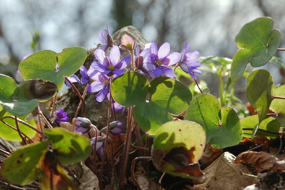Hepatica nobilis 20