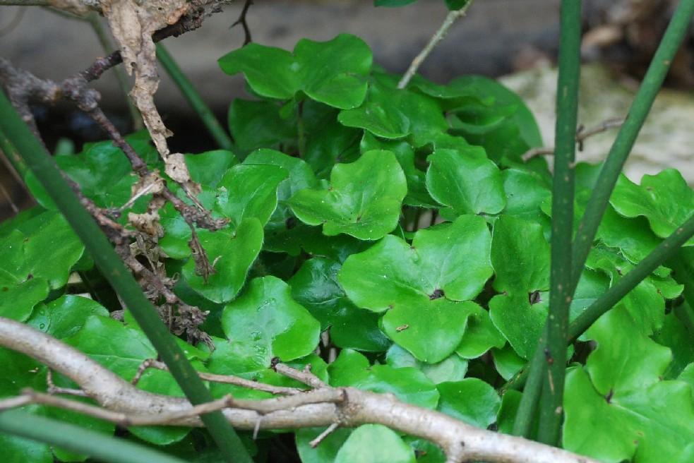Hepatica nobilis 24