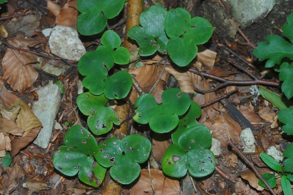Hepatica nobilis 26
