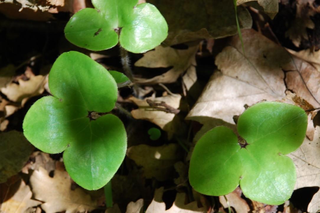Hepatica nobilis 4