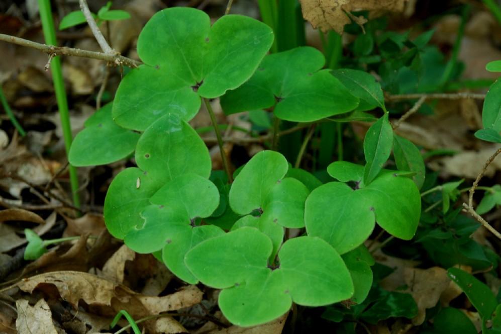 Hepatica nobilis 5