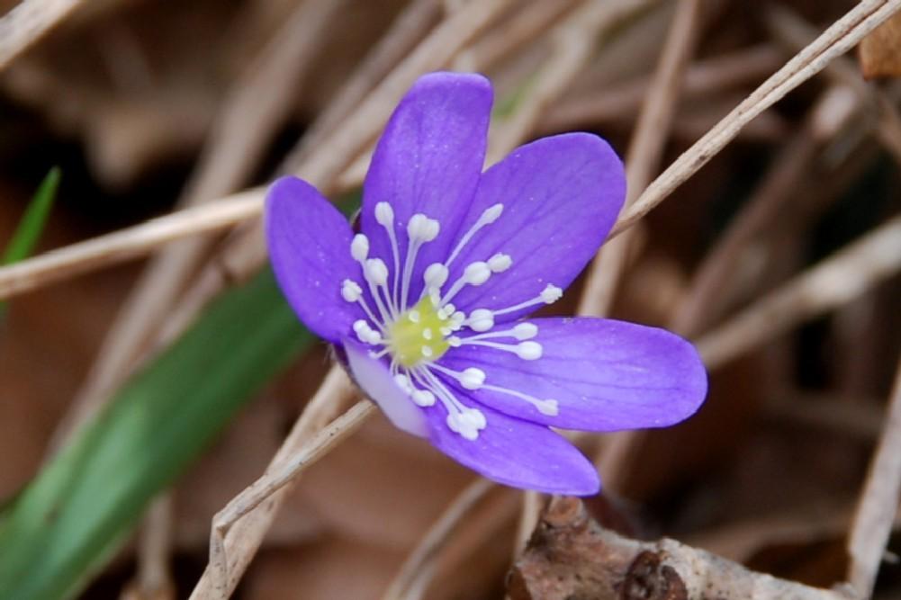 Hepatica nobilis 6
