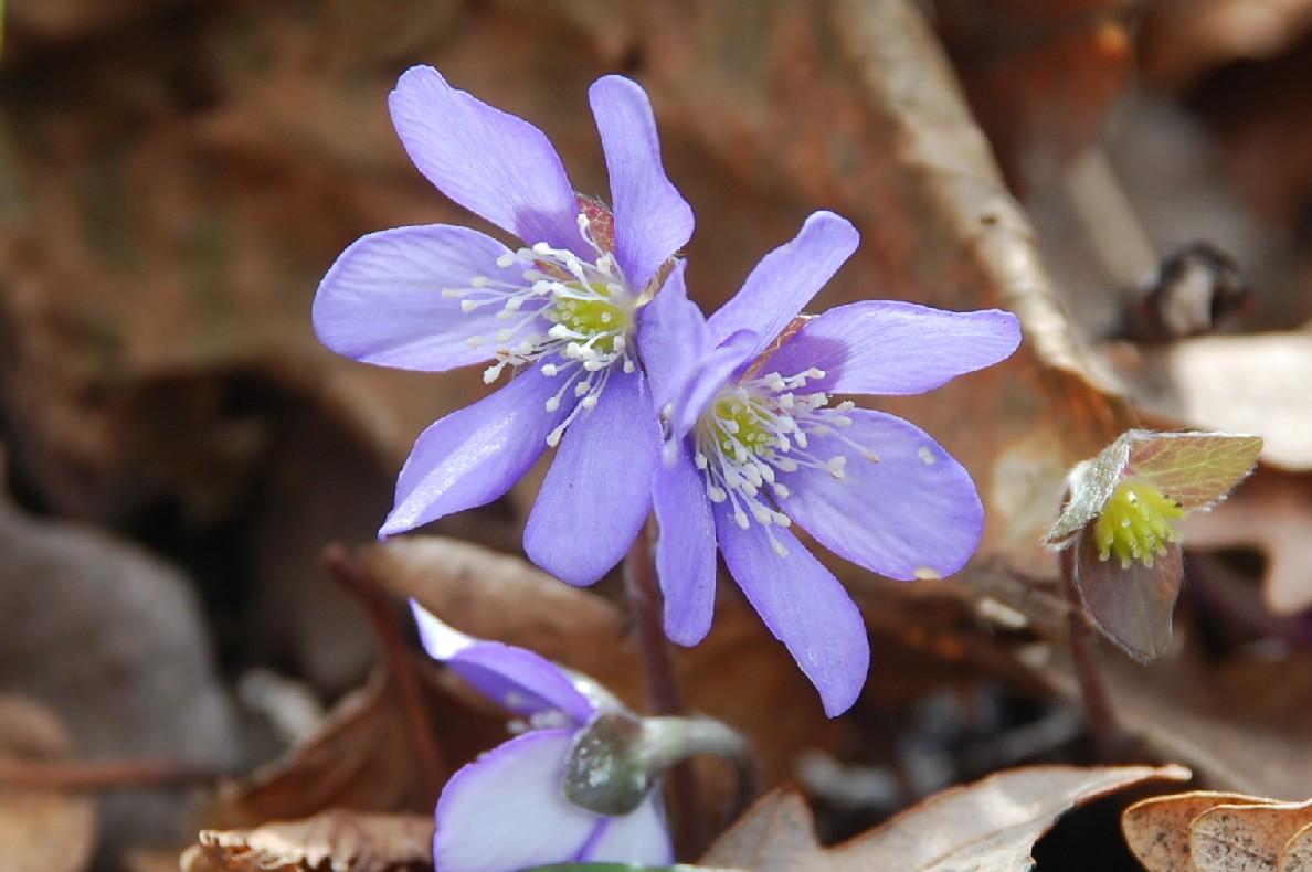 Hepatica nobilis 8