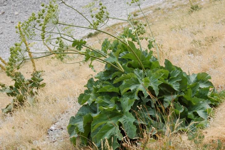 Heracleum sphondylium subsp. orsinii