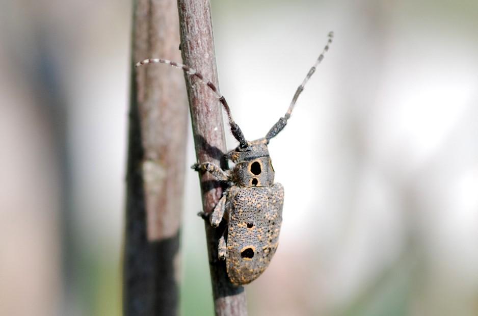 Herophila tristis - Cerambycidae