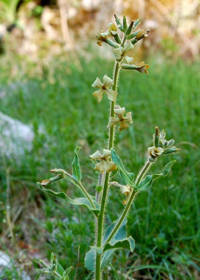 Hesperis laciniata subsp. laciniata